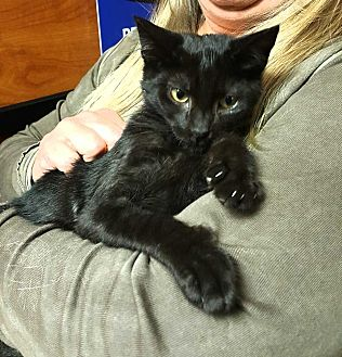 Domestic Shorthair Kitten for adoption in South Bend, Indiana - Iceman