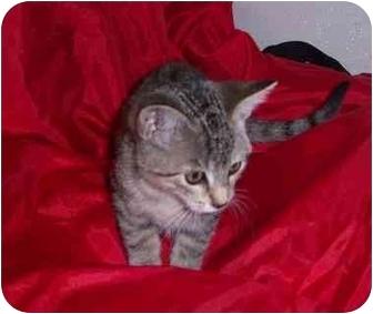 Domestic Shorthair Kitten for adoption in Lake Charles, Louisiana - Josephine