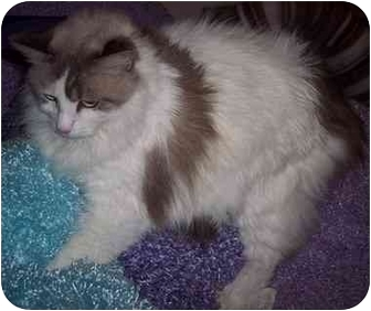 Ragdoll Cat for adoption in Dallas, Texas - Cressida