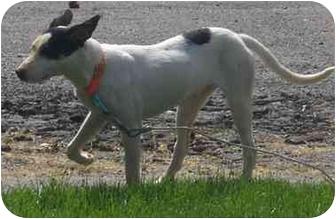 Basenji/Terrier (Unknown Type, Small) Mix Puppy for adoption in Toronto/Etobicoke/GTA, Ontario - Miah