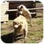 Photo 4 - Golden Retriever/Chow Chow Mix Dog for adoption in Mocksville, North Carolina - Casey