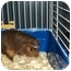 Photo 2 - Guinea Pig for adoption in Huntingdon, Pennsylvania - Ms. Poindexter