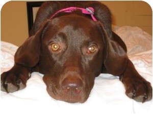 Labrador Retriever Mix Dog for adoption in Alexandria, Virginia - Addy