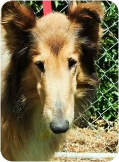 Collie Dog for adoption in Riverside, California - Indy - Medical Hold