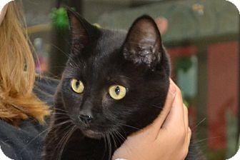 Domestic Shorthair Cat for adoption in Elyria, Ohio - Luna