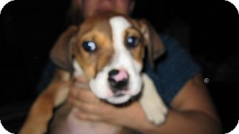 Labrador Retriever/Collie Mix Puppy for adoption in South Jersey, New Jersey - Leonard
