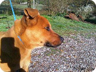 Mountain Cur Dog for adoption in Byhalia, Mississippi - Toby