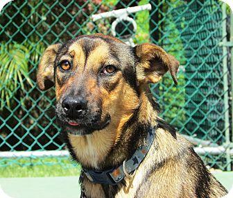 Shepherd (Unknown Type) Mix Dog for adoption in El Cajon, California - Maisey Mae