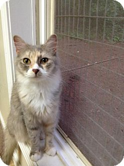 Turkish Angora Cat for adoption in Monroe, Georgia - Ayla