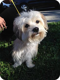 Shih Tzu/Maltese Mix Dog for adoption in Los Angeles, California - Frisky Girl