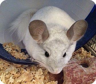 Chinchilla for adoption in Baltimore, Maryland - Alfie