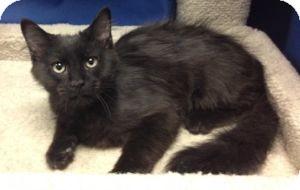 Domestic Mediumhair Kitten for adoption in Colorado Springs, Colorado - K-Kolb1-Peanut