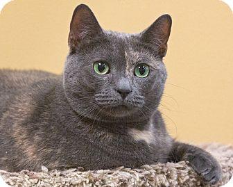 Domestic Shorthair Cat for adoption in Elmwood Park, New Jersey - Iris