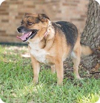 Corgi Mix Dog for adoption in Schertz, Texas - Bailey