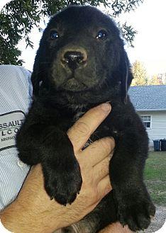 Border Collie/Australian Cattle Dog Mix Puppy for adoption in Westport, Connecticut - Cash