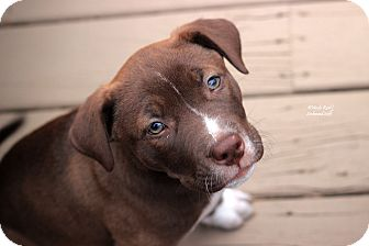 American Pit Bull Terrier/Husky Mix Puppy for adoption in Flushing, Michigan - Gia