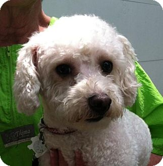 Bichon Frise/Poodle (Miniature) Mix Dog for adoption in Winder, Georgia - Lambchop aka Luna
