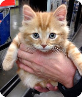 Domestic Mediumhair Kitten for adoption in San Leandro, California - Duffy