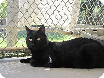 Domestic Shorthair Cat for adoption in Umatilla, Florida - ShakesPurr