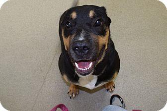 Rottweiler/Shepherd (Unknown Type) Mix Dog for adoption in Bucyrus, Ohio - Magnum P.I.