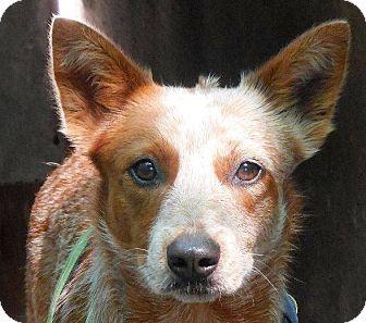 Australian Cattle Dog Dog for adoption in Fountain Valley, California - Rosie