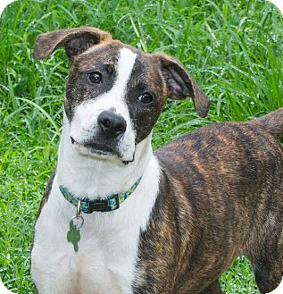 Mountain Cur/Terrier (Unknown Type, Medium) Mix Dog for adoption in Elmwood Park, New Jersey - Alida ADOPTION PENDING