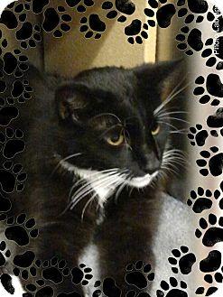 Domestic Shorthair Cat for adoption in Pueblo West, Colorado - Freon