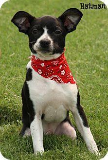Boston Terrier/Terrier (Unknown Type, Small) Mix Dog for adoption in Brattleboro, Vermont - Batman