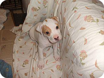 Shar Pei Mix Puppy for adoption in Williamsburg, Virginia - Fidele