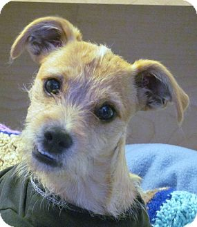 Brussels Griffon/Terrier (Unknown Type, Small) Mix Dog for adoption in Torrance, California - ELVIS
