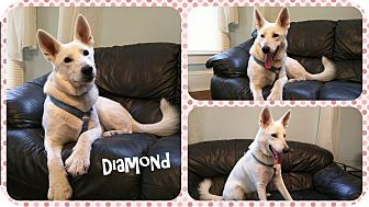 German Shepherd Dog Dog for adoption in DOVER, Ohio - Diamond