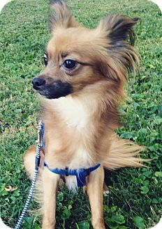 Papillon Mix Dog for adoption in Cookeville, Tennessee - Gizmo