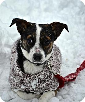 Beagle/Rat Terrier Mix Dog for adoption in Freeport, New York - Charlie