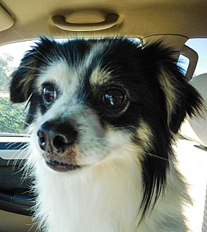 Spitz (Unknown Type, Small)/Papillon Mix Dog for adoption in Gilbert, Arizona - Garrett