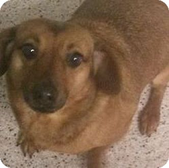Dachshund Mix Dog for adoption in Savannah, Georgia - GiGi