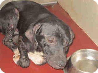 Labrador Retriever Mix Puppy for adoption in Newnan City, Georgia - Sugar