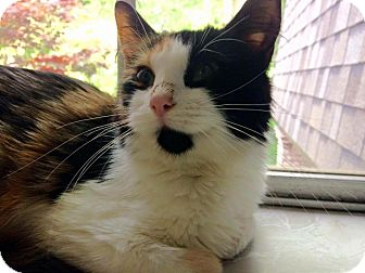 Calico Cat for adoption in Overland Park, Kansas - Willow