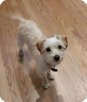 Maltese/Wirehaired Fox Terrier Mix Puppy for adoption in West Linn, Oregon - Genevieve