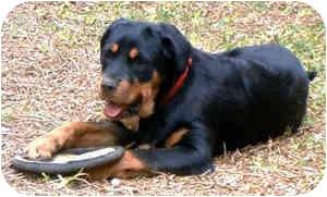 Rottweiler Dog for adoption in Cedar Creek, Texas - Opal