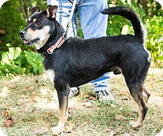 Shepherd (Unknown Type)/Labrador Retriever Mix Dog for adoption in Clarkesville, Georgia - Conner