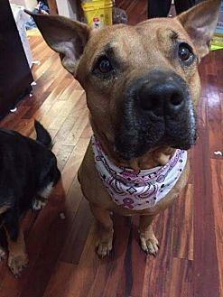American Pit Bull Terrier Mix Dog for adoption in Manhattan, New York - Rocky E