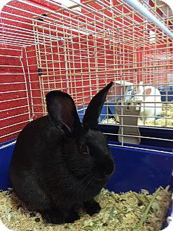 Mini Rex Mix for adoption in Elyria, Ohio - Nibbles