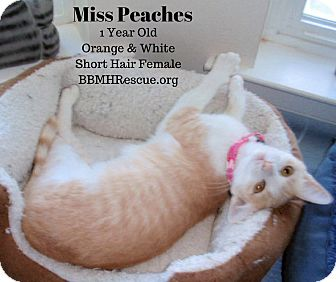 Domestic Shorthair Cat for adoption in Temecula, California - Miss Peaches