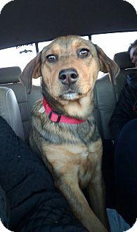 Hound (Unknown Type)/Beagle Mix Puppy for adoption in Charlestown, Rhode Island - Holly