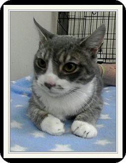 Domestic Shorthair Kitten for adoption in Trevose, Pennsylvania - Morton