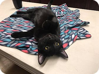 Domestic Shorthair Kitten for adoption in Riverside, California - Johnnie