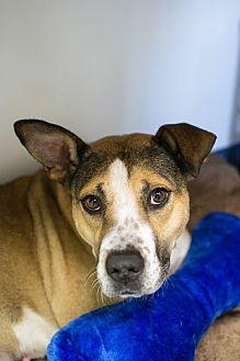 German Shepherd Dog/Boxer Mix Dog for adoption in Warwick, Rhode Island - Genevieve