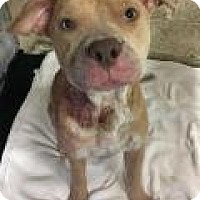 Pit Bull Terrier Mix Dog for adoption in Cape Girardeau, Missouri - Cali