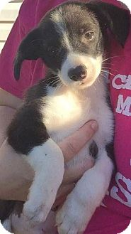 Border Collie Mix Puppy for adoption in greenville, South Carolina - Honey