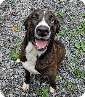 Labrador Retriever/Catahoula Leopard Dog Mix Dog for adoption in Cincinatti, Ohio - Houlie